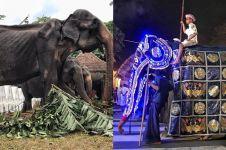 Kisah Tikiri gajah kurus yang dipaksa bekerja 10 hari berturut-turut