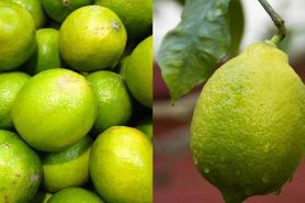 5 Manfaat jeruk limau untuk kesehatan, bisa cegah kanker