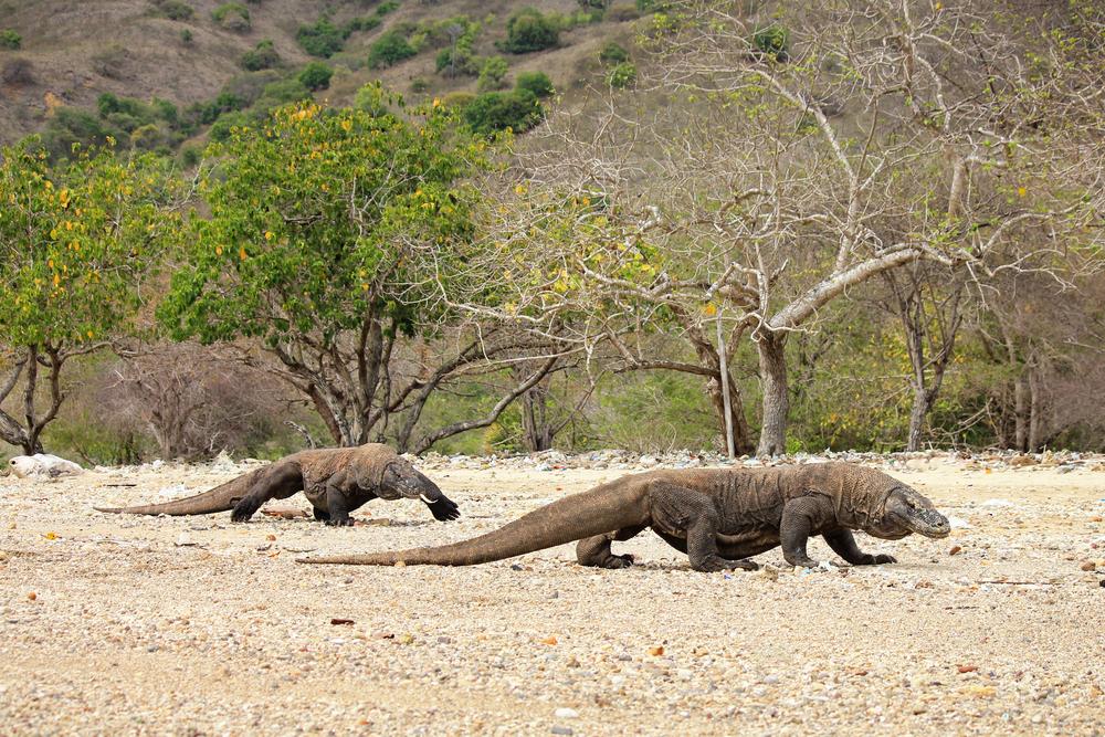3 Hari jelajahi Labuan Bajo, gerbang 'Jurassic Park' Indonesia berbagai sumber