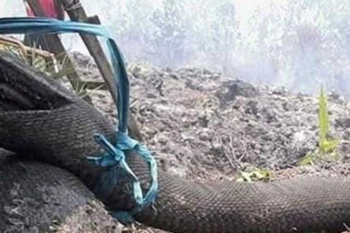 Viral potret mengenaskan ular piton hangus terbakar di Kalimantan