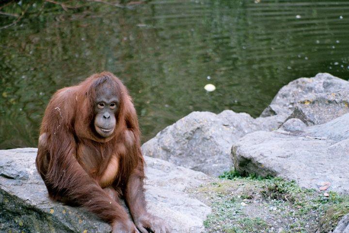 Dampak kabut asap, belasan orangutan di Kalteng terserang ISPA