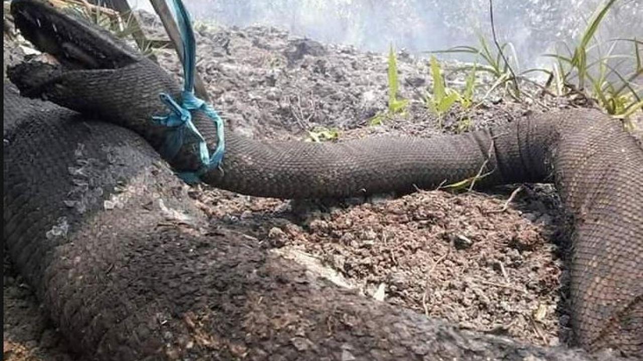 3 Hal tentang 'Raja Ular' mati karena kebakaran hutan Kalimantan