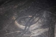Potret ular 'berkaki' yang mati hangus karena kebakaran hutan