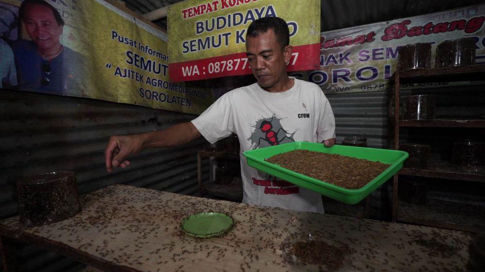 semut kroto Widodo © 2019 brilio.net