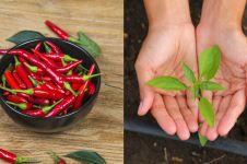 5 Cara menanam cabe di rumah dengan mudah dan cepat berbuah