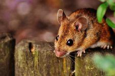 10 Cara mengusir tikus di rumah dengan bahan alami, mudah
