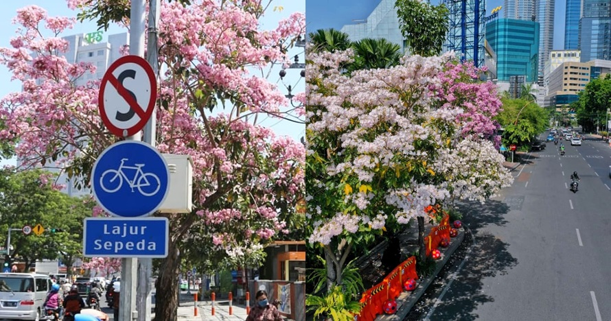 10 Potret Surabaya dimekari bunga tabebuya, indah bak di Jepang