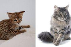 10 Jenis kucing peliharaan, populer, unik, dan bersahabat