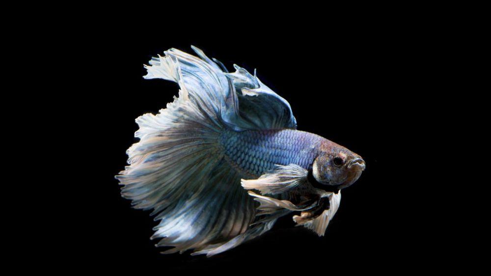 7 Jenis ikan cupang terbaik untuk peliharaan & peredam stres © 2019 brilio.net