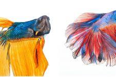 7 Jenis ikan cupang terbaik untuk peliharaan & peredam stres
