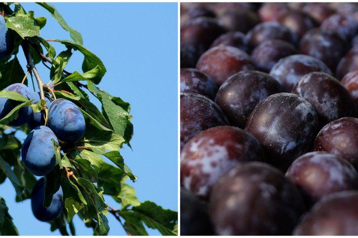 10 Manfaat buah plum hitam untuk kesehatan, mencegah anemia