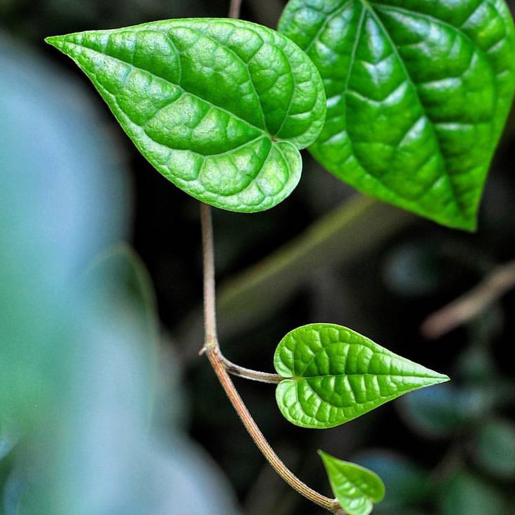 6 Manfaat daun sirih untuk wanita hamil