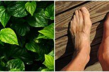 20 Manfaat daun sirih untuk kesehatan, bisa atasi asam urat
