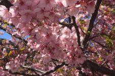 6 Manfaat bunga sakura untuk kecantikan kulit