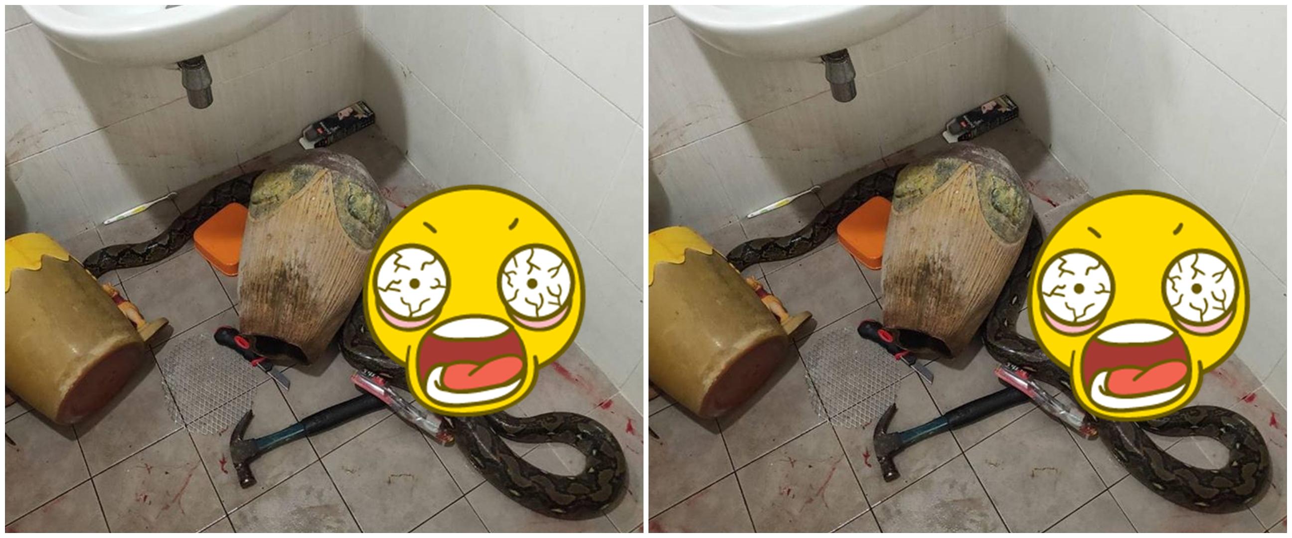 Viral wanita dililit ular piton saat buang air besar