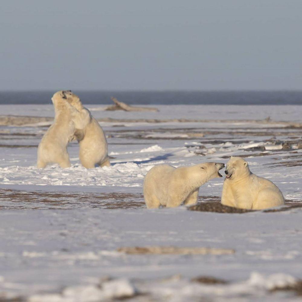 beruang kutub istimewa