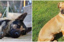 Anjing di Hong Kong positif Corona, penularan hewan pertama