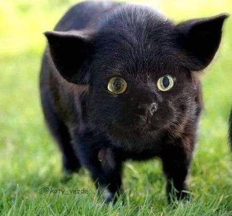 Editan hewan bermuka kucing berbagai sumber