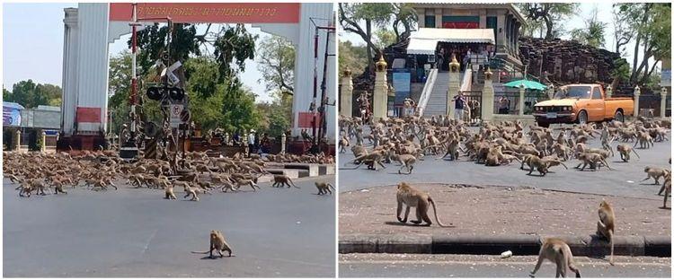 Terdampak Corona, ratusan monyet di Thailand berebut makanan