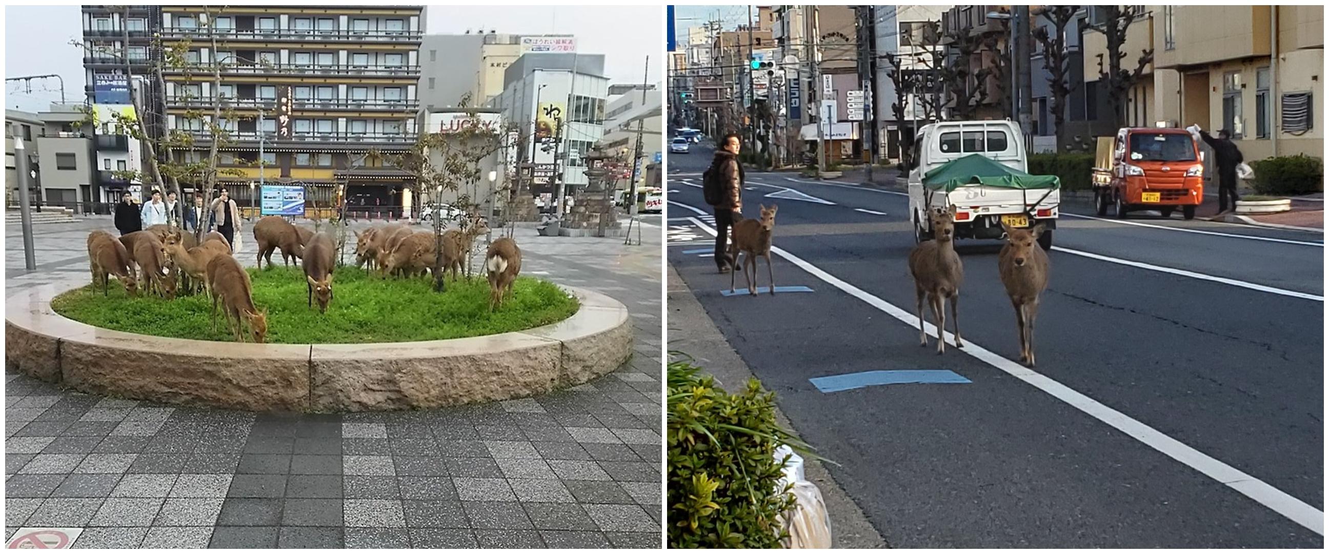 Dampak virus Corona, rusa berkeliaran ke jalan karena lapar