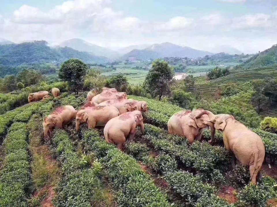 gajah di kebun teh berbagai sumber