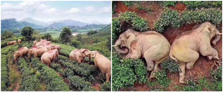 Viral potret kawanan gajah terkapar di kebun teh, ini penyebabnya