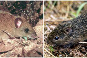 Bukan lewat manusia, ini 4 jenis tikus penyebar Hantavirus