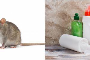 Hantavirus disebabkan oleh tikus, ini 5 cara pencegahannya