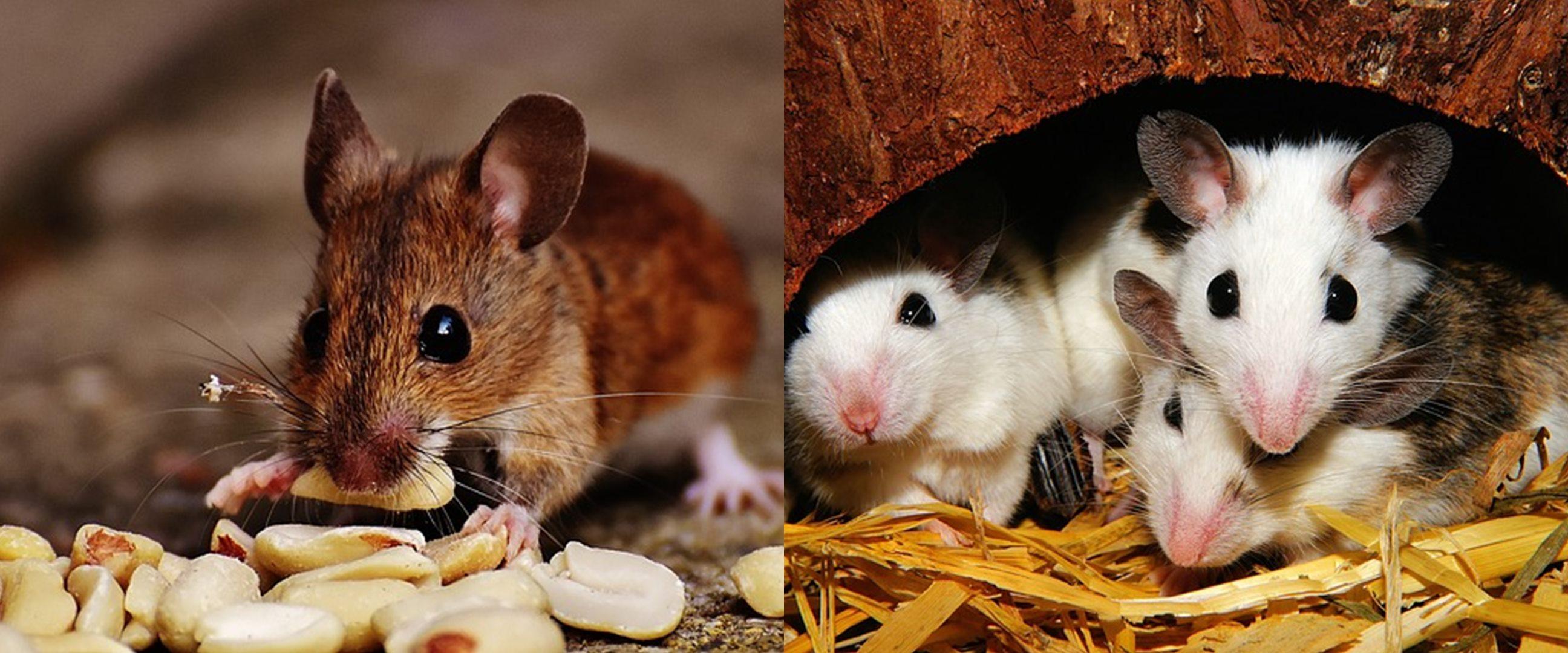 10 Barang ini ternyata bisa bikin tikus suka datang ke rumah