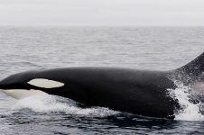 Video penampakan langka Paus Orca di Perairan Anambas