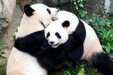 Dikenal berlibido rendah, 2 panda jalin asmara saat bonbin di-lockdown