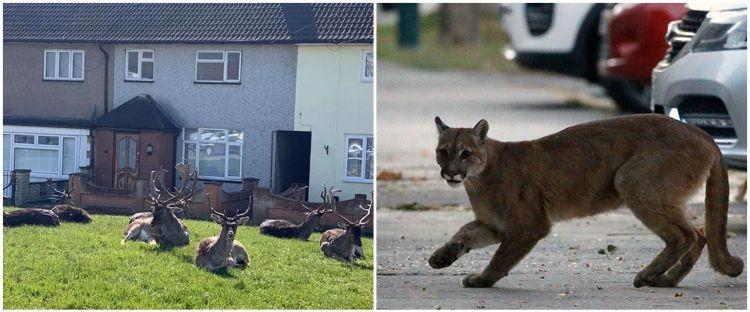 6 Potret hewan liar menyerbu kota saat warga isolasi karena corona