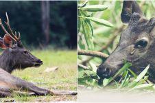 Kebun binatang di Bandung bakal potong rusa untuk makanan macan