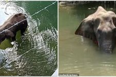 Tragis, gajah bunting mati berdiri usai makan nanas diisi petasan