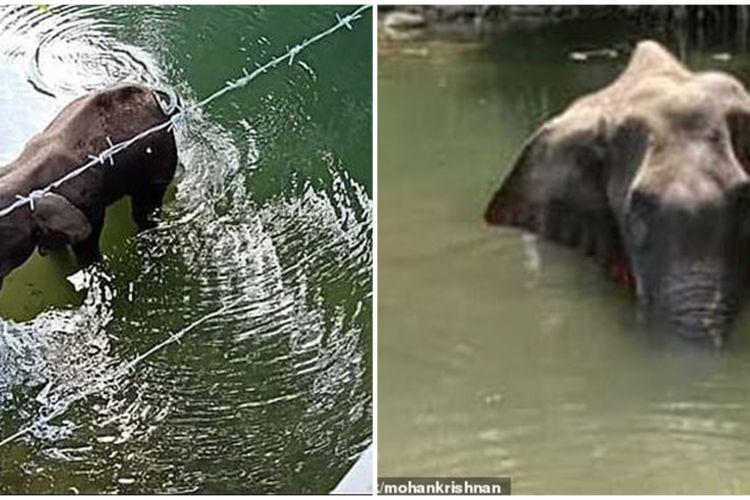Tragis Gajah Bunting Mati Berdiri Usai Makan Nanas Diisi Petasan