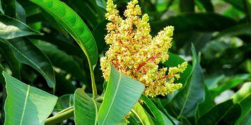 8 Manfaat daun mangga untuk kesehatan, bisa tingkatkan imun