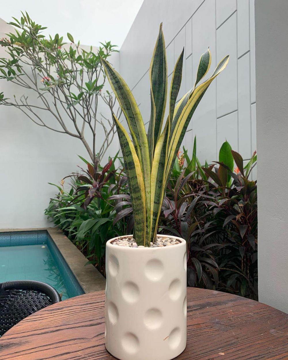 koleksi tanaman hias sarita Instagram