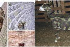 10 Meme lucu cara kambing kabur dari jagal ini bikin senyum merekah
