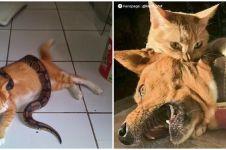 10 Potret kucing oren lawan hewan buas, nggak ada takutnya
