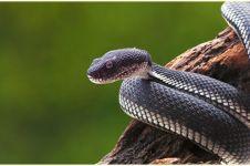 Viral, ular sepanjang satu meter masuk ke mulut wanita sedang tidur