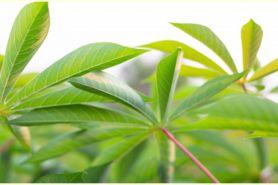 10 Manfaat daun singkong untuk kesehatan, ampuh mengatasi anemia