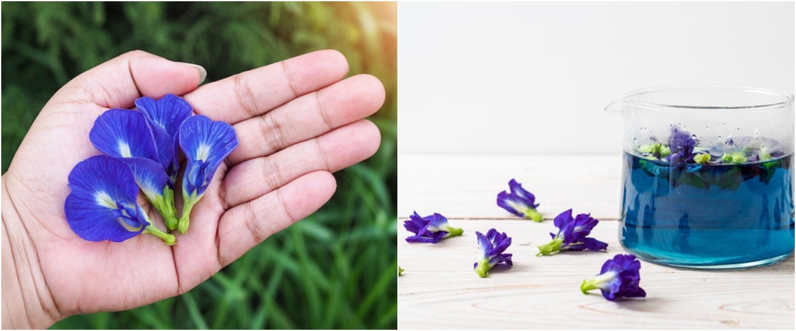 10 Manfaat bunga telang untuk kesehatan, melancarkan menstruasi