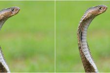 Kisah remaja digigit ular 8 kali dalam sebulan ini bikin haru