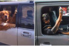10 Potret anjing saat naik mobil ini tingkahnya kocak banget