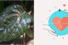 15 Manfaat air rebusan daun sirih merah, obati banyak penyakit