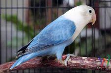 Pakan burung lokal ini digemari para kicau mania, ini alasannya