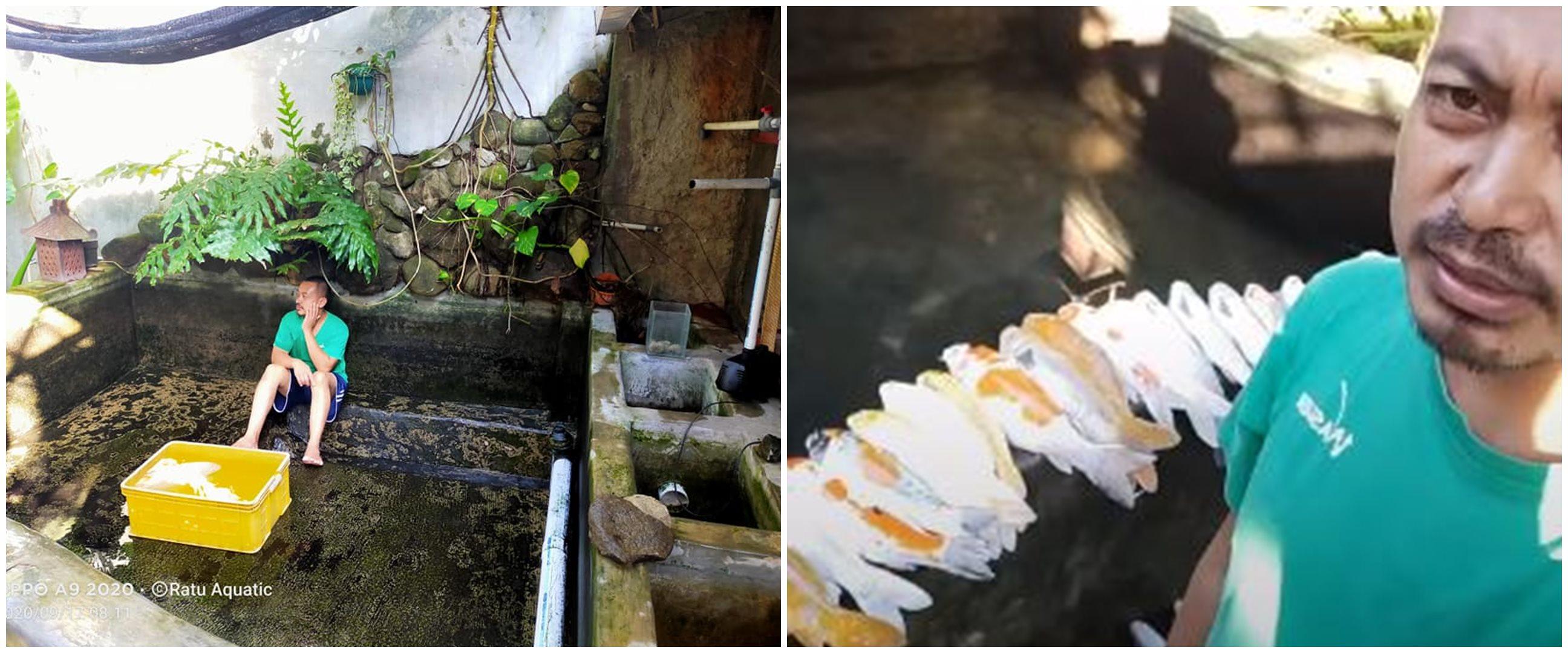 Viral cerita pria kehilangan ratusan ikan koi, penyebabnya bikin sedih