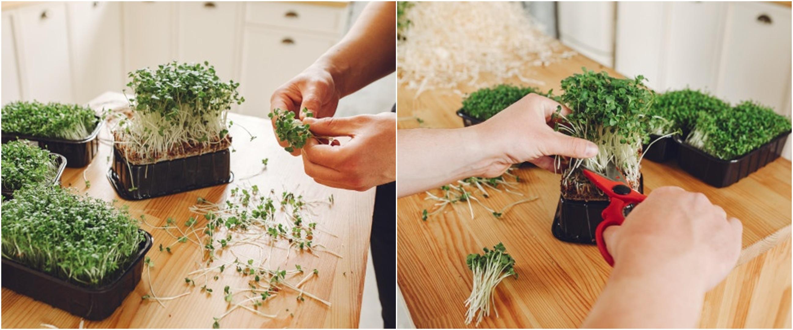 10 Cara mudah menanam sayuran microgreens, cepat tumbuh dan panen