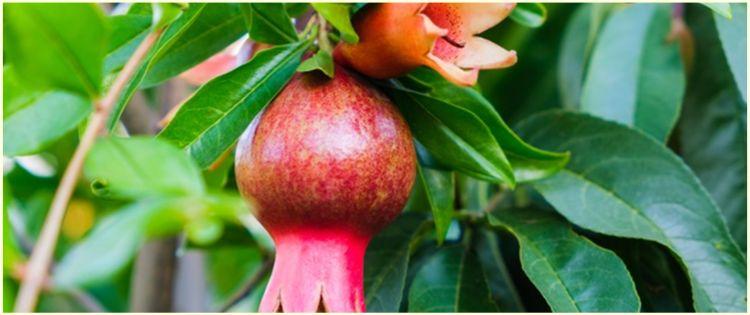 6 Manfaat daun delima untuk kesehatan, tingkatkan imun tubuh