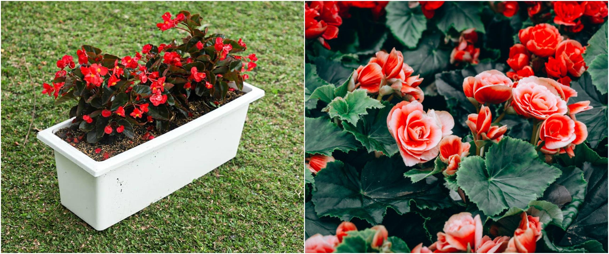 5 Cara merawat tanaman begonia agar makin cantik dan subur